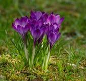 Açafrões violetas na grama verde Foto de Stock