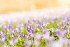 Açafrões violetas na luz solar Foto de Stock Royalty Free