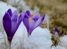 Açafrões violetas na neve Foto de Stock