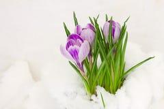 Açafrões violetas na neve Imagens de Stock Royalty Free