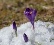 Açafrões violetas na neve Fotografia de Stock