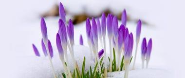 Açafrões violetas na neve Imagens de Stock