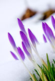 Açafrões violetas na neve Foto de Stock Royalty Free
