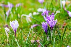 Açafrões violetas no parque Imagem de Stock Royalty Free