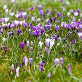 Açafrões violetas no parque Imagens de Stock