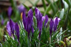Açafrões violetas nos botões Imagens de Stock