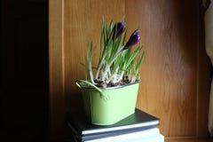 Açafrões violetas plantados no potenciômetro Imagens de Stock