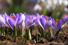 Açafrões violetas que estão florescendo belamente Fotos de Stock