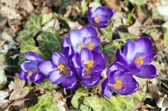 Açafrões violetas que florescem na mola adiantada Foto de Stock Royalty Free