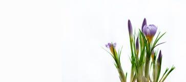 Açafrões violetas roxos bonitos no potenciômetro no fundo branco com copyspace Conceito da mola Espaço livre para seu texto Imagem de Stock Royalty Free