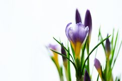 Açafrões violetas roxos bonitos no potenciômetro no fundo branco com copyspace Conceito da mola Espaço livre para seu texto Imagens de Stock Royalty Free