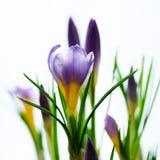 Açafrões violetas roxos bonitos no potenciômetro no fundo branco com copyspace Conceito da mola Espaço livre para seu texto Fotografia de Stock