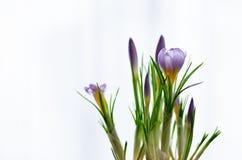 Açafrões violetas roxos bonitos no potenciômetro no fundo branco com copyspace Conceito da mola Espaço livre para seu texto Foto de Stock Royalty Free