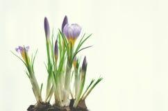 Açafrões violetas roxos bonitos no potenciômetro no fundo branco com copyspace Conceito da mola Espaço livre para seu texto Fotos de Stock Royalty Free