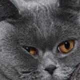 Açaime bonito do gato britânico cinzento Foto de Stock