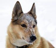 Açaime de cães de caça na neve Fotos de Stock Royalty Free