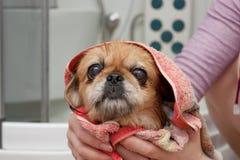 Açaime de um cão após o lavagem Imagens de Stock Royalty Free