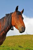 Açaime de um cavalo. Fotos de Stock