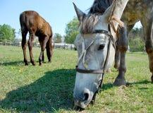 Açaime de um cavalo Foto de Stock