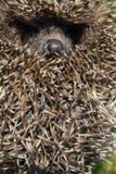 Açaime de um hedgehog Imagens de Stock