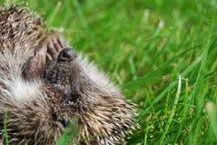 Açaime de um hedgehog Foto de Stock Royalty Free