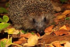 Açaime de um hedgehog Fotografia de Stock Royalty Free