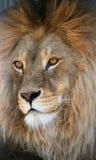 Açaime de um leão Imagens de Stock Royalty Free