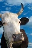 Açaime de uma vaca de encontro ao céu Imagem de Stock Royalty Free