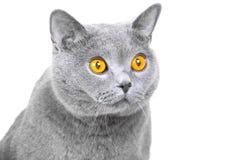 Açaime do gato azul britânico novo no branco isolado Fotos de Stock Royalty Free
