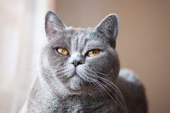 Açaime do gato britânico cinzento Fotos de Stock