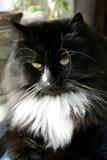 Açaime do gato preto Imagens de Stock