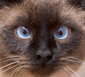 Açaime do gato Siamese Imagem de Stock Royalty Free