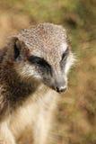 Açaime do meerkat Imagens de Stock