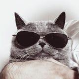 Açaime engraçado do gato britânico cinzento nos óculos de sol Imagem de Stock Royalty Free