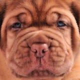 Açaime francês do filhote de cachorro do Mastiff Imagem de Stock