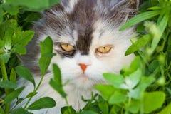 Açaime macio terrível do gato de casa Fotos de Stock