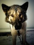 Açaime o cão com um grande nariz molhado preto fim Profundidade rasa de Imagem de Stock