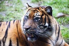 Açaime o tigre do close up do tigre que encontra-se para baixo e que olha maxilas grandes, cor brilhante dos colmilhos da florest Imagens de Stock