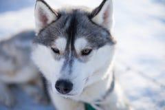 Açaime os cães de puxar trenós Fotografia de Stock