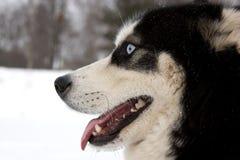 Açaime ronco do cão Imagem de Stock Royalty Free