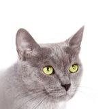 Açaime um gato Foto de Stock