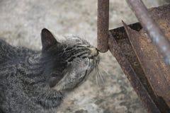 Aço do cheiro do gato Foto de Stock