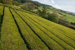 açores Plantação de chá Fotografia de Stock