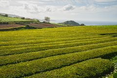 Açores, plantação de chá Imagem de Stock