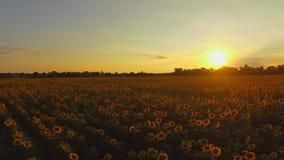 aéreo El volar sobre campo de los girasoles Puesta del sol Movimiento liso 4K