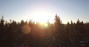 aéreo Voo liso bonito do zangão através e acima dos abeto cobertos pela neve na manhã ensolarada adiantada O raio de sol do nasce filme