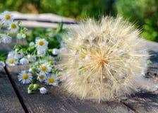 Aérez la fleur sèche sous forme de parapluies (semblables au pissenlit) et de marguerites de champ sur une table en bois Photographie stock libre de droits