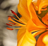 Aërodynamische Stroom van Lillies stock fotografie