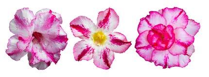 Aísla rosa de la azalea Fotos de archivo libres de regalías