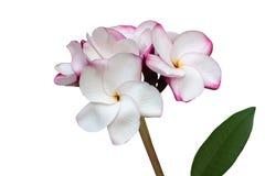Aísle el manojo encantador hermoso del plumeria de la flor blanca en blanco Fotografía de archivo
